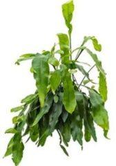 Plantenwinkel.nl Lepismium cactus oxypeltatum hangplant