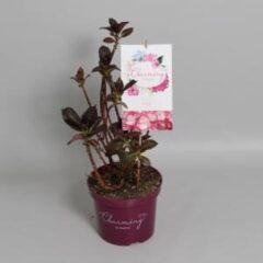 "Plantenwinkel.nl Hydrangea Macrophylla ""Charming® Lisa Pink""® boerenhortensia - 25-30 cm - 1 stuks"