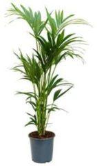 Plantenwinkel.nl Kentia Palm howea forsteriana 6pp kamerplant