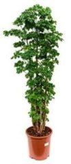 Plantenwinkel.nl Polyscias aralia roble M kamerplant