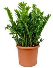 Plantenwinkel.nl Zamioculcas zamiifolia XL kamerplant