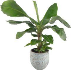 Plantenwinkel.nl Plantenwinkel Bananenplant Musa dwarf cavendish XS plant in pot antiq bronze