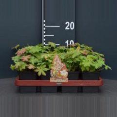 "Plantenwinkel.nl Ooievaarsbek (geranium macrorrhizum ""Spessart"") bodembedekker - 12 stuks"