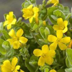 Moerings waterplanten Moerashertshooi (Hypericum elodes) moerasplant - 6 stuks