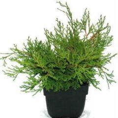 "Plantenwinkel.nl Schijncipres (Chamaecyparis obtusa ""Pygmaea"") conifeer - 6 stuks"