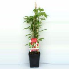 "Plantenwinkel.nl Herfstframboos (rubus idaeus ""Autumn Bliss"") fruitplanten - In 5 liter pot - 1 stuks"
