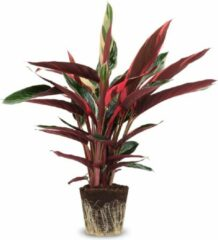 Rode We Love Plants Calathea Triostar P19 Zonder pot