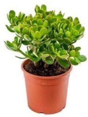 Plantenwinkel.nl Crassula ovata XXS kamerplant