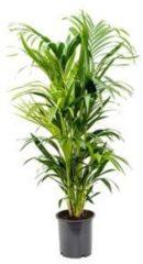 Plantenwinkel.nl Kentia Palm howea forsteriana 8pp kamerplant