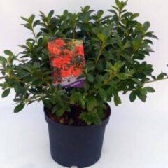 """Plantenwinkel.nl Rododendron (Rhododendron Japonica """"Signalgluhen"""") heester - 3 stuks"""