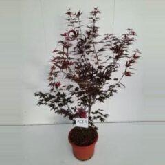 "Plantenwinkel.nl Japanse esdoorn (Acer Palmatum ""Atropurpureum"") - 80-100 cm - 1 stuks"