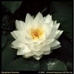 Moerings waterplanten Witte waterlelie (Nymphaea Gonnere) waterlelie - 6 stuks