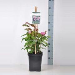 """Plantenwinkel.nl Engelse klimroos (rosa """"Gertrude Jekyll""""®)"""