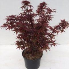 "Plantenwinkel.nl Japanse esdoorn (Acer palmatum ""Shaina"") heester - 30-40 cm - 1 stuks"