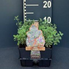 Plantenwinkel.nl Kattenkruid (nepeta faassenii) bodembedekker - 6-pack - 1 stuks