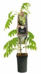 "Plantenwinkel.nl Blauweregen wit (Wisteria Floribunda ""Alba"") klimplant - 4 stuks"