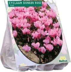 Baltus Cyclamen (Cyclaam) bloembollen - Hederifolium, Donker roze - 2 x 5 stuks