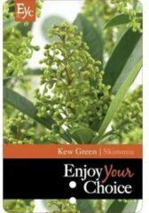 "Groene Plantenwinkel.nl Skimmia (Skimmia Japonica ""Kew Green"") heester - 30-40 cm - 6 stuks"