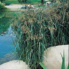 Moerings waterplanten Lang cypergras (Cyperus longus) moerasplant - 6 stuks