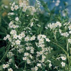 """Moerings waterplanten Wit moerasvergeet-mij-nietje (Myosotis palustris """"alba"""") moerasplant - 6 stuks"""