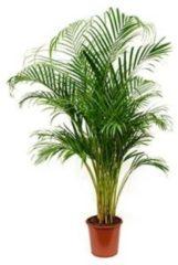 Plantenwinkel.nl Areca Palm lutescens M kamerplant