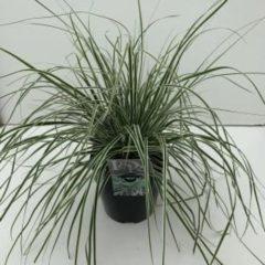 """Plantenwinkel.nl Zegge (Carex oshimensis """"Everest"""") siergras - In 5 liter pot - 1 stuks"""