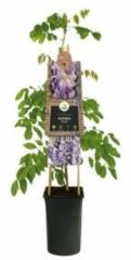 Plantenwinkel.nl Blauweregen (Wisteria Sinensis) klimplant - 4 stuks