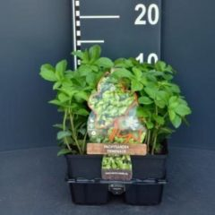 Plantenwinkel.nl Schaduwkruid (pachysandra terminalis) bodembedekker - 6-pack - 1 stuks