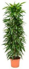 Plantenwinkel.nl Ficus amstel king columnae kamerplant