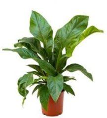 Plantenwinkel.nl Anthurium jungle bush S kamerplant