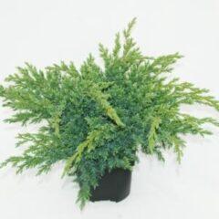"Plantenwinkel.nl Jeneverbes (Juniperus squamata ""Blue Swede"") conifeer - 6 stuks"