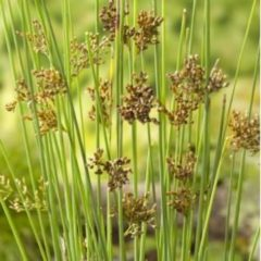 Moerings waterplanten Zeegroene Rus (Juncus inflexus) moerasplant - 6 stuks