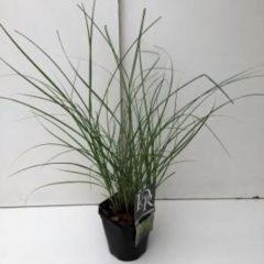 """Plantenwinkel.nl Prachtriet (Miscanthus sinensis """"Adagio"""") siergras - 6 stuks"""
