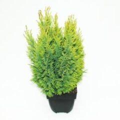 "Plantenwinkel.nl Schijncipres (Chamaecyparis lawsoniana ""Ellwoodii Empire"") conifeer - 6 stuks"