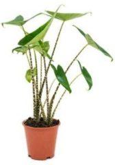 Groene Plantenwinkel.nl Alocasia zebrina S kamerplant