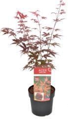 Rode MyPalmShop.nl Acer palmatum 'Atropurpureum'; Totale hoogte ±70cm incl. Ø19cm pot | Japanse esdoorn