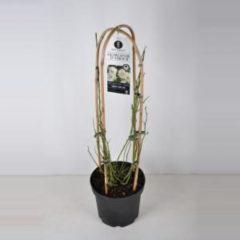 "Plantenwinkel.nl Rambler klimroos (rosa rambler ""Guirlande d'Amour""®) - C7.5 - 1 stuks"