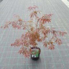 "Plantenwinkel.nl Japanse esdoorn (Acer palmatum ""Sumi-Nagashi"") heester - 3 stuks"