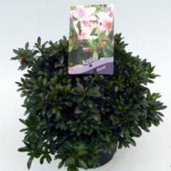 "Plantenwinkel.nl Rododendron (Rhododendron Satsuki ""Nyohozan"") heester - 3 stuks"