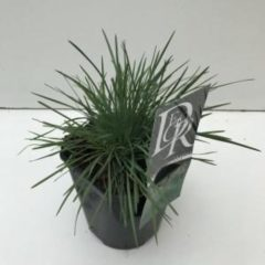 Plantenwinkel.nl Fakkelgras (Koeleria glauca) siergras - 6 stuks