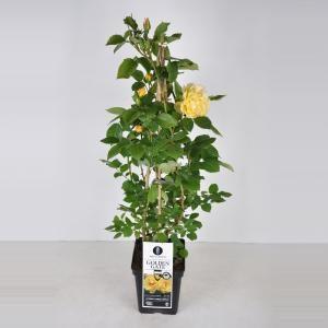 """Afbeelding van Plantenwinkel.nl Klimroos (rosa """"Golden Gate""""®) - C5 - 1 stuks"""