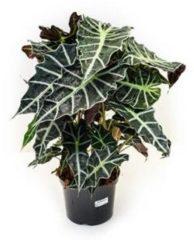 Plantenwinkel.nl Alocasia polly L kamerplant