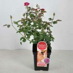 """Plantenwinkel.nl Grootbloemige roos Parfum de Nature (rosa """"Blackberry Nip""""® Parfum de Nature) - C5 - 1 stuks"""