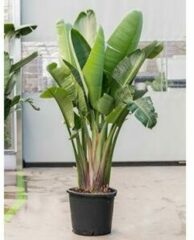 Plantenwinkel.nl Strelitzia nicolai 3XL Davidevertos