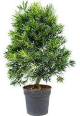 Plantenwinkel.nl Podocarpus macrophyllus bush bonsai kamerplant