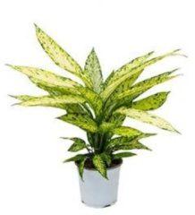 Plantenwinkel.nl Dieffenbachia vesuvius S kamerplant