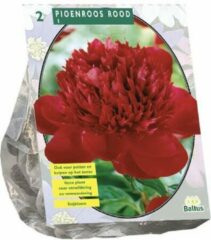 Baltus Pioenroos Rood | 2 stuks | zomerbloeier | Snijbloem