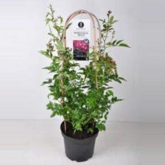 "Plantenwinkel.nl Rambler klimroos (rosa ""Perennial Blue""®) - C7.5 - 1 stuks"