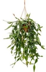 Plantenwinkel.nl Rhipsalis eliptica hangplant