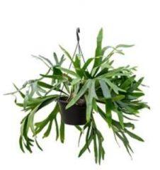 Plantenwinkel.nl Platycerium bifurcatum M hertshoornvaren hangplant